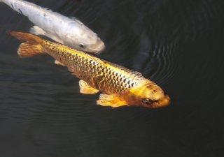 Zlatá ryba, ilustrační foto